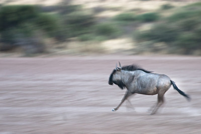 Gnu running in the Kalahari desert, Namibia.