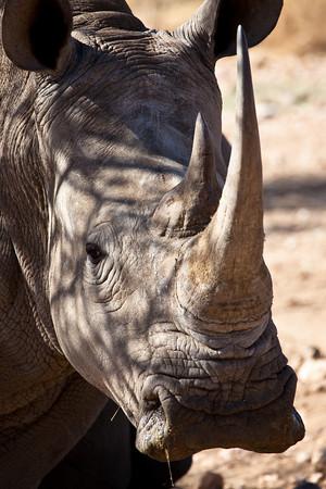 White Rhinoceros, Goshgana reserve, Windhoek. Namibia.