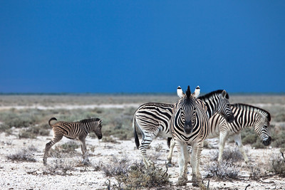 More zebras with a storm coming in the background, Etosha National park, Namibia.