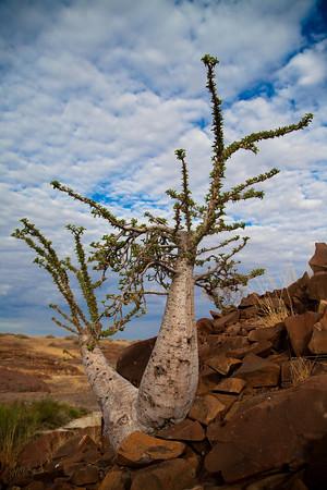 Baobab, Damarland, Namibia.