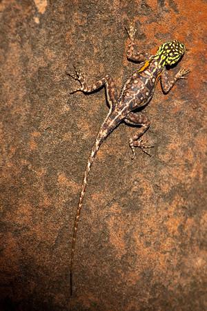 Lizard, Damarland, Namibia.