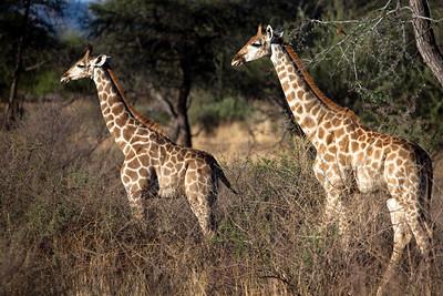 Giraffs, Goshgana reserve, Windhoek. Namibia.