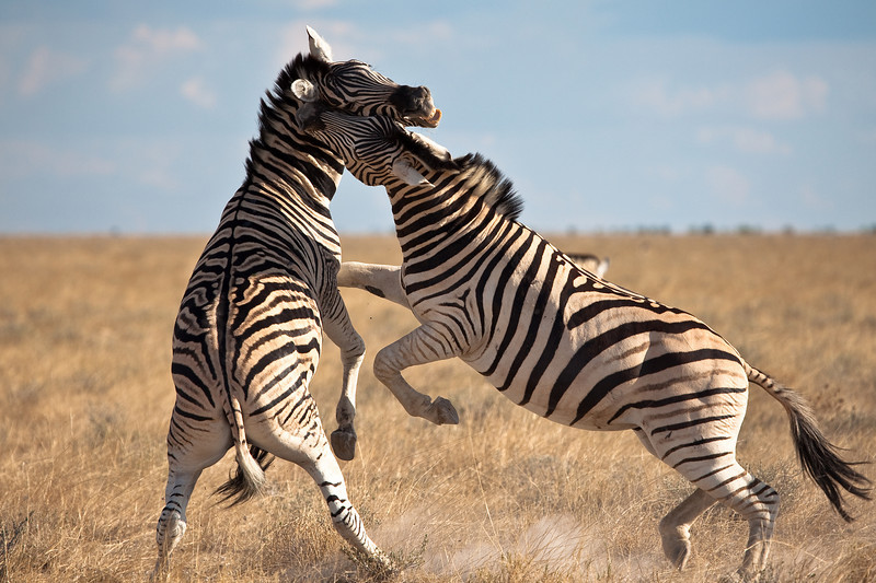 Two zebras playing before a storm, Etosha National park, Namibia.