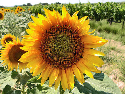 Sun flower from Provence. France.