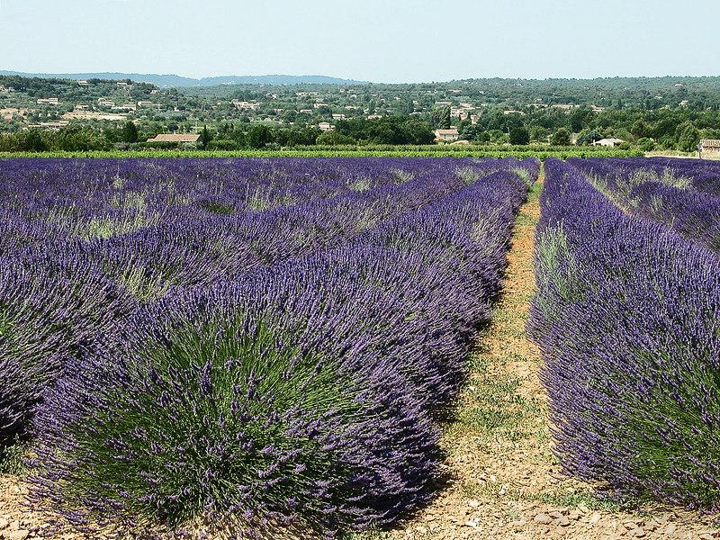 Lavanda field, Provence, France.