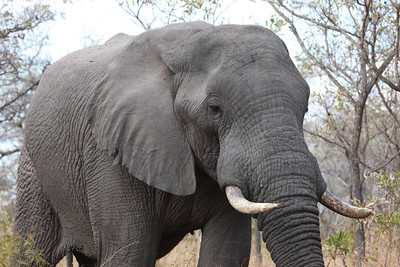 Elephant from the Kruger National Park, South Africa.