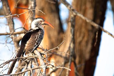 Hornbill at Kruger NP, Crocodile gate, South Africa