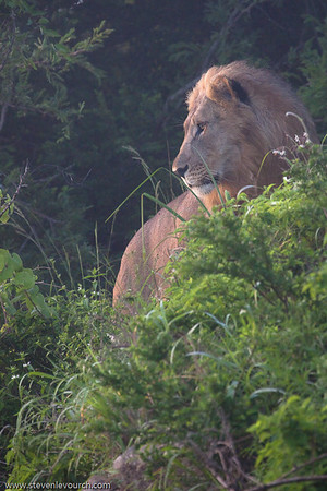 Lion in the Hluhluwe reserve, Kuazulu Natal Province, South Africa.