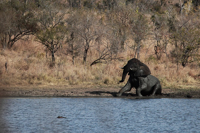Elephant from the Kruger National Park, South Africa