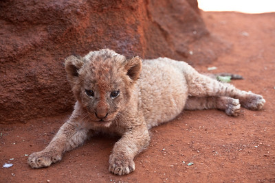 Young lion at the Pilanesberg park, South Africa.