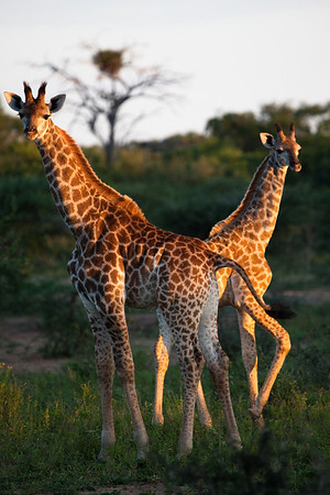 Girafs at the Hiyongoni Lodge close to the Kruger National Park, South Africa