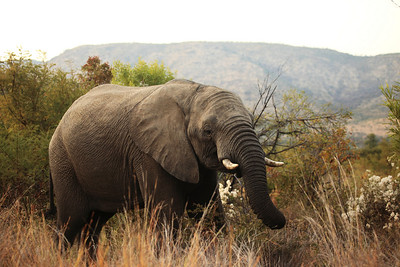 Elephant at the Pilanesberg park, South Africa.