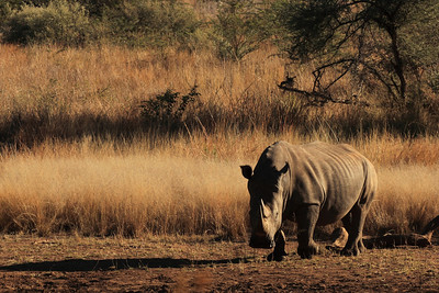 Rhino at the Pilanesberg park, South Africa.