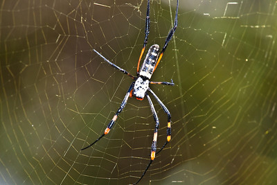 Spider at the Hiyongoni Lodge close to the Kruger National Park, South Africa.