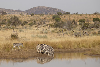 Zebras at the Pilanesberg park, South Africa.