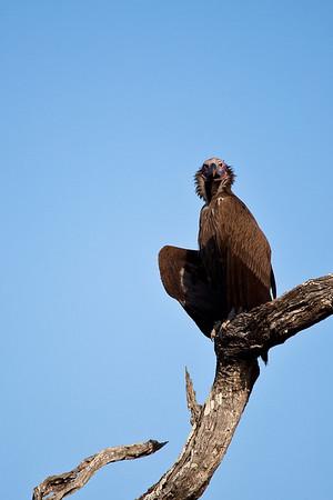 Vulture at Kruger NP, Crocodile gate, South Africa