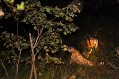 Two sheetahs escaping during a night drive, Hiyongoni Lodge close to the Kruger National Park, South Africa.