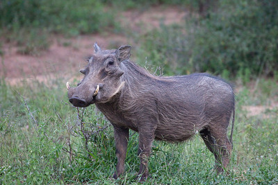 Warthog at the Hiyongoni Lodge close to the Kruger National Park, South Africa.
