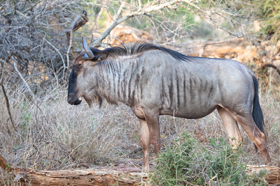 Wildbeest at Kruger NP, Crocodile gate, South Africa