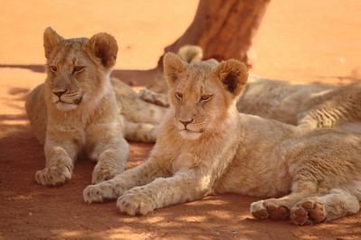 Young lions at the Pilanesberg park, South Africa.