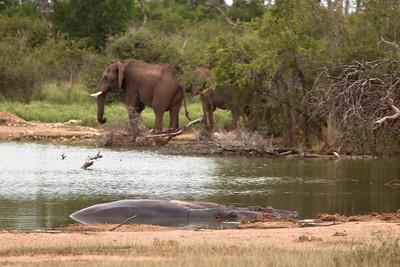 Elephants and Hippos at Hlane Royal NP, Swaziland.