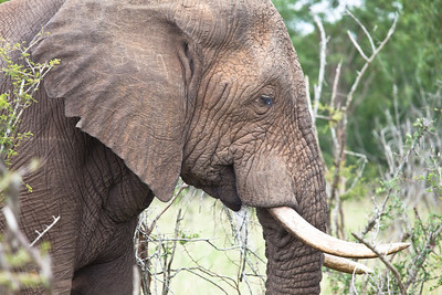 Elephant at Hlane Royal NP, Swaziland.
