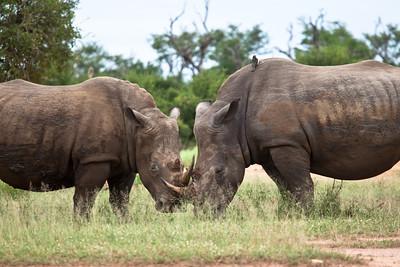 Rhinos at Hlane Royal NP, Swaziland.