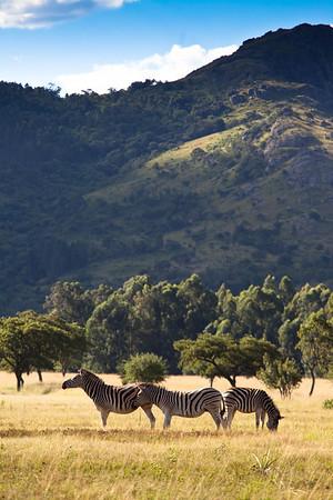 Zebras at Mlilwane NP, Swaziland.