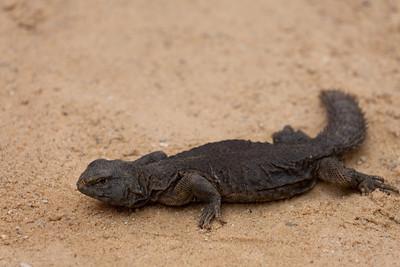 Lizard, Tamerza, Tunisia.