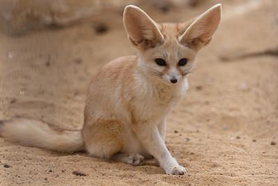 Fennec fox, Tozeur, Tunisia.