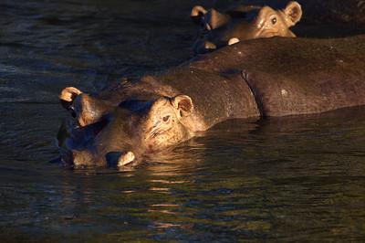 Hippos on the Zambezi river, Livingston, Zambia.
