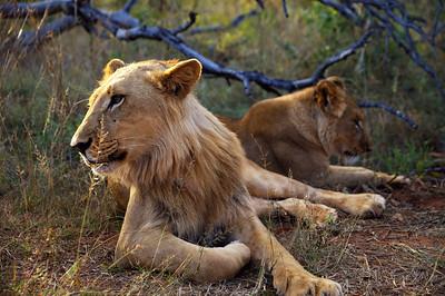 Lions, Livingston, Zambia.