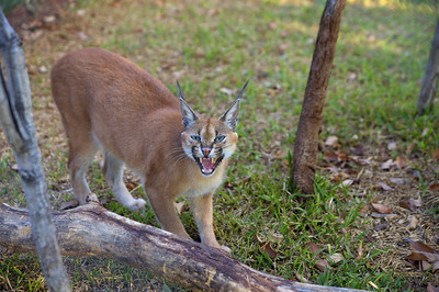 Caracal, Livingston, Zambia.