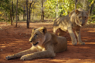 Lions, Livingston, Zambia.