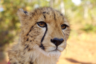 Cheeta, Livingston, Zambia.