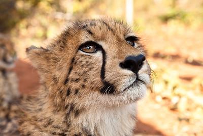 Cheeta, Livingston, Zambia.