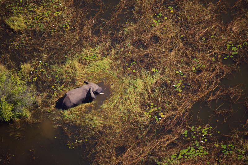 Elephant on the Zambezi river, Livingston, Zambia.