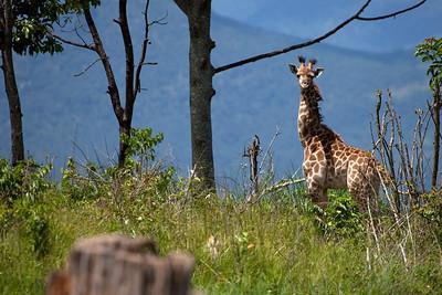2 months old girafs from Leopard Rock Hotel, Bvumba, Zimbabwe.