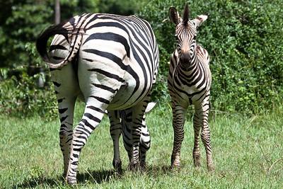 Zebra from Leopard Rock Hotel, Bvumba, Zimbabwe.