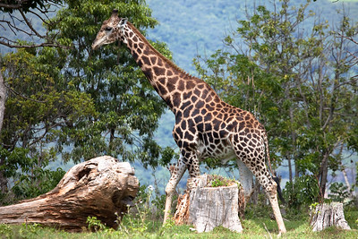 Giraf from Leopard Rock Hotel, Bvumba, Zimbabwe.