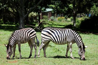 Zebras from Leopard Rock Hotel, Bvumba, Zimbabwe.