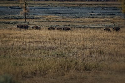 """Bison On The Move""  This was shot from the Lamar Valley Ranger Station in Yellowstone."
