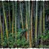 "May 2, 2012 - ""Field Of Bamboo"""