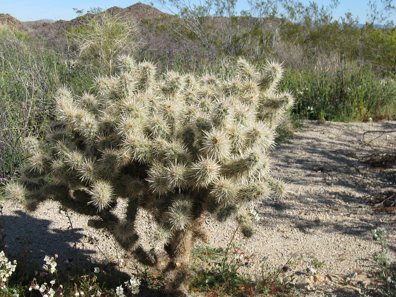 Cholla Cactus  - Joshua Tree National Park