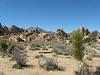Mojave Yucca  - Joshua Tree National Park