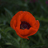 """""""Beauty At 10000 Ft.""""<br /> <br /> The flower was captured while walking the neighboorhood streets in Leadville, Colorado.  This photo has had the exposure reduced 1.95 in AE RAW adjustments from the SOOC shot."""