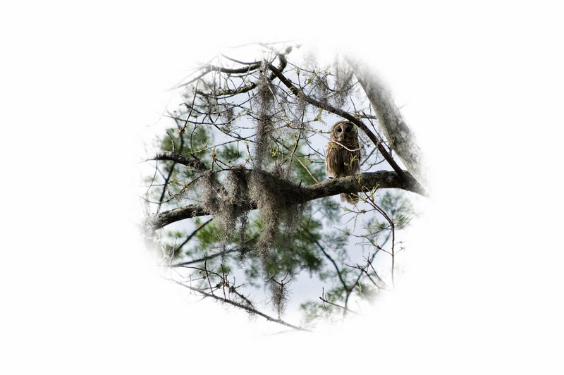 """""""Watchful Eyes"""" - The Barred Owl checked our boat and us out."""