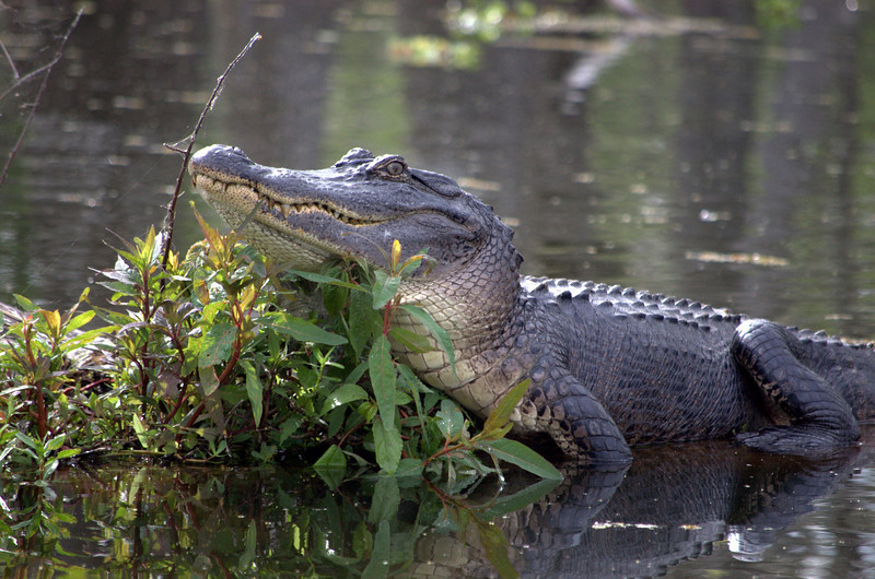 """Is It Lunch Time"" - There was another alligator about 200 feet from the red canoe."