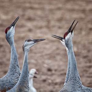 "December 11, 2011 - ""wow, what a great flyer""  It appears that the sandhll cranes at Bosque del Apache are also spectators."