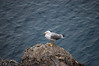 Seagull at Cinque Terre, Italy